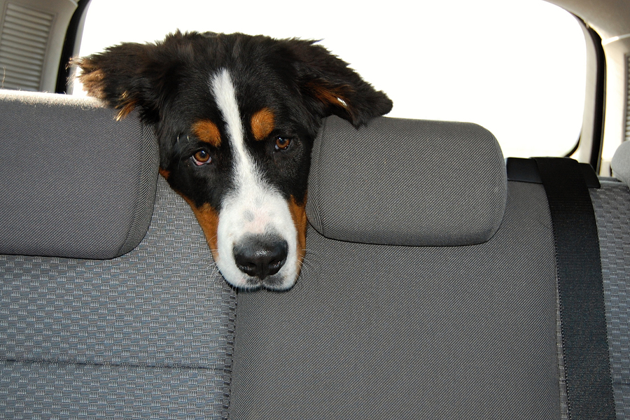protecting your car s interior from pet wear and tear mr clean car wash. Black Bedroom Furniture Sets. Home Design Ideas