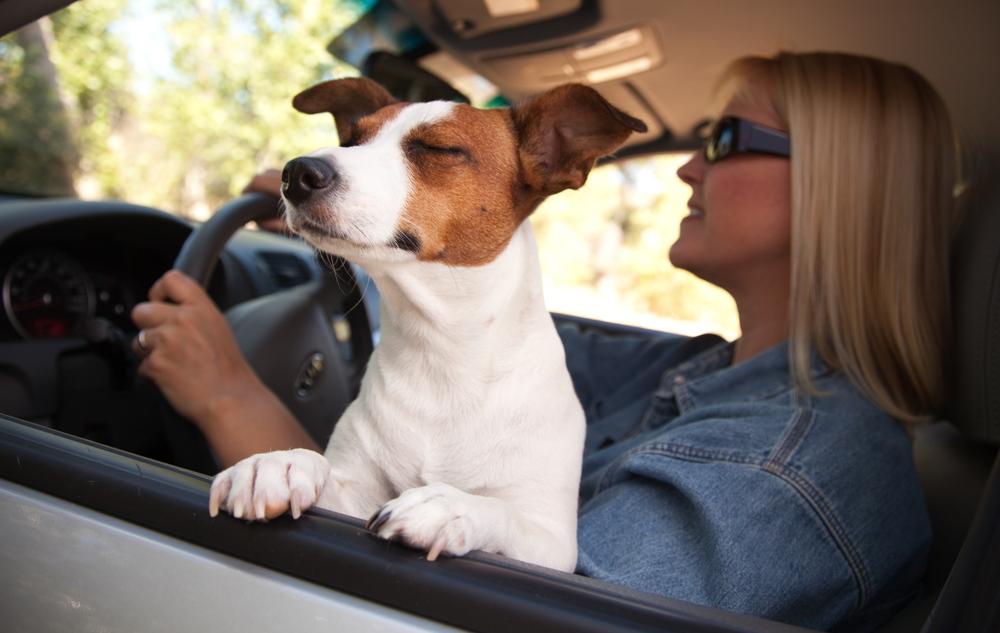 happy-dog-in-car